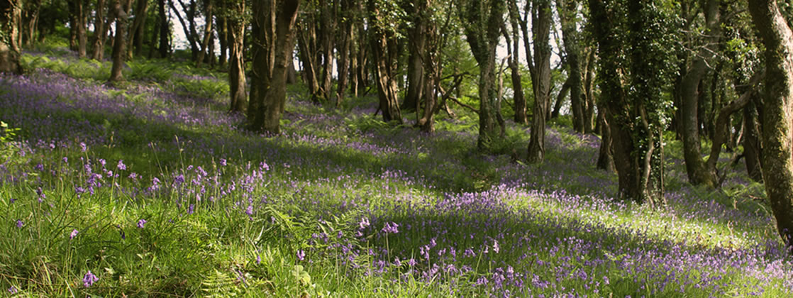 Bluebells at Acorn Farm